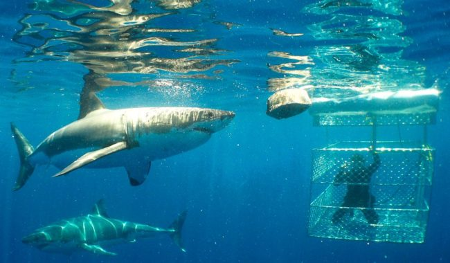 Shark alert but no alarm: Cage diving with great whites