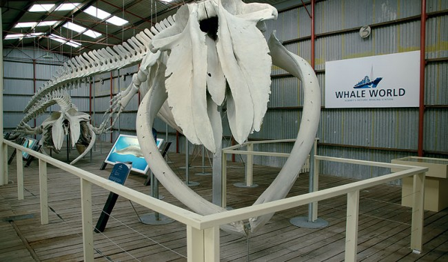 Explore a one of a kind whale. Image by Whale World