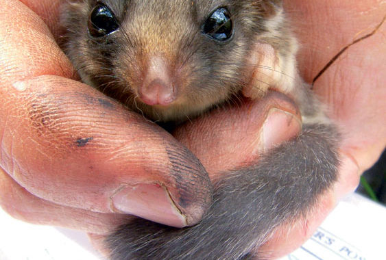 Play possum with the tiny Leadbeater. Image by WWF, Natalie Holland