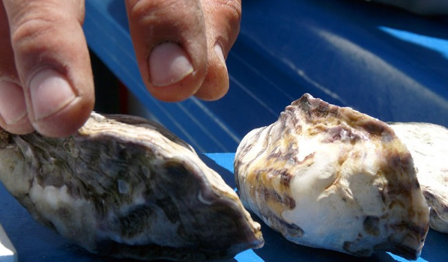 Coffin Bay oysters are the Faberge eggs of molluscs. No finer example of a plump, juicy, Pacific bivalve exists anywhere else on the planet.