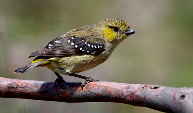 Arare forty-spotted pardalote