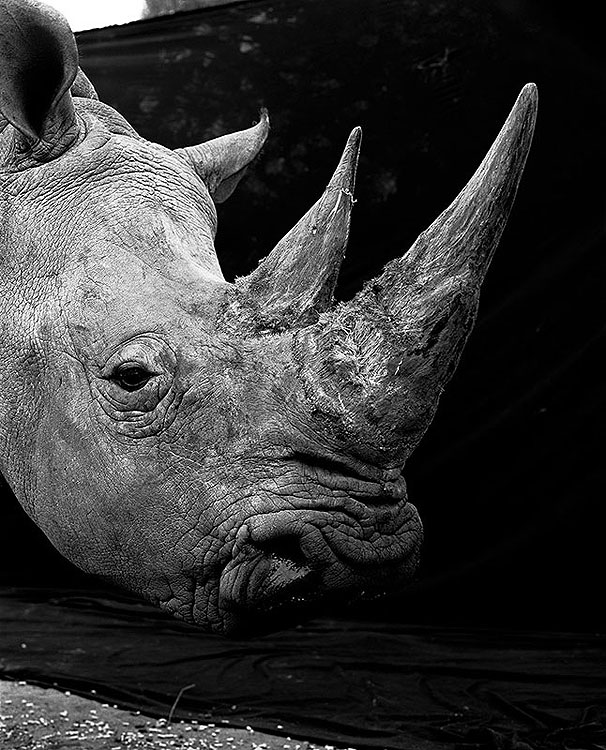 Square_lipped-Rhino
