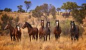 'Your Shot' Winner: Brumbies in the MacDonnell Ranges. By Robert McRobbie