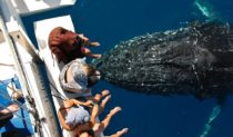 As close as the gentle giants want to - Herrvey Bay whale watching
