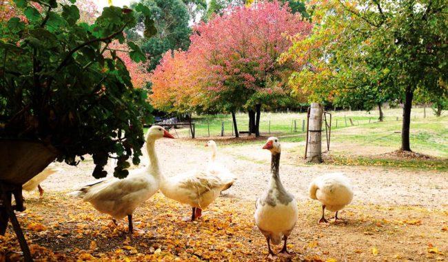 A gaggle of geese at Lavandula Lavender Farm.
