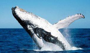 One of the many stars of the Hervey Bay Whale Festival, on throughout August.