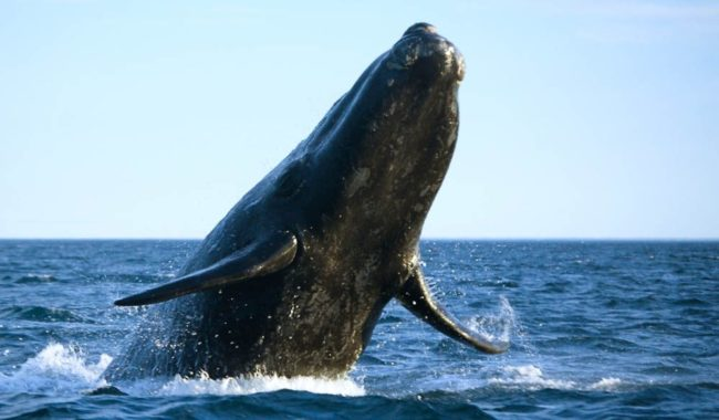 Southern Right whales are slowly returning to Australia's east coast bays and inlets.