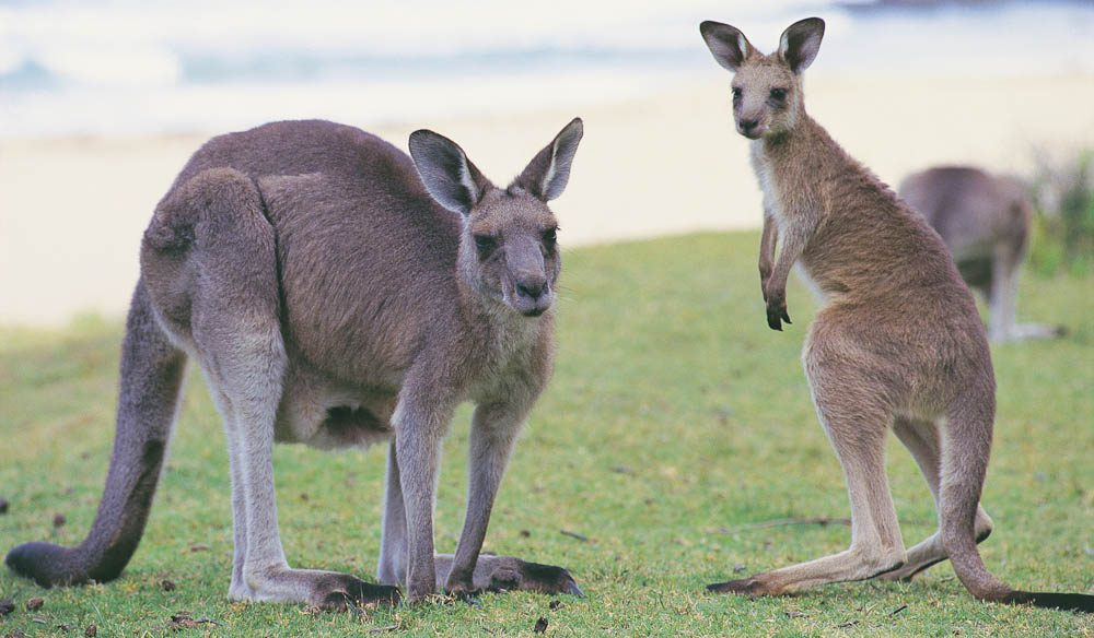 'Surfy' roos at Pebbly Beach in Murramarang National Park, NSW.