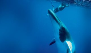 Dwarf minke whale, Great Barrier Reef, Queensland