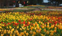 Colourful tulips made up the different garden beds of the 2013 Floriade show