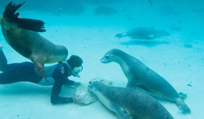 Scuba diving with sea lions Baird Bay, South Australia.