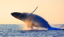 Humback Whale breach Sydney