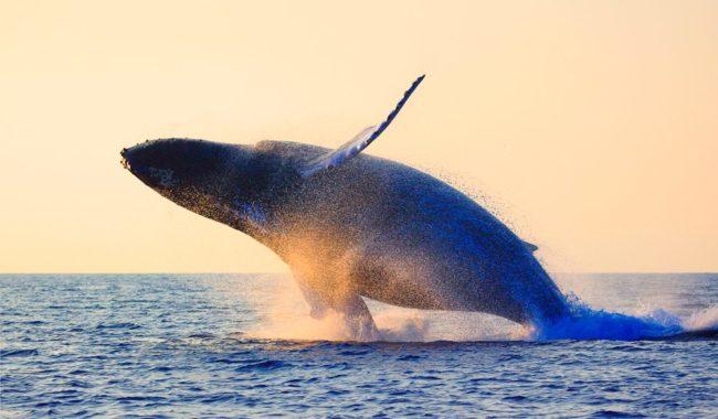 Humback Whale breach Sydney