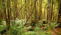Tarkine Rainforest Reserve north-west Tasmania