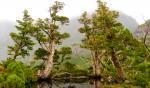 pine trees near Cradle Mountain Tasmania