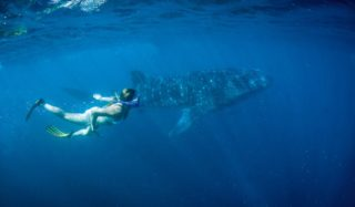 Whale shark central Ningaloo Reef