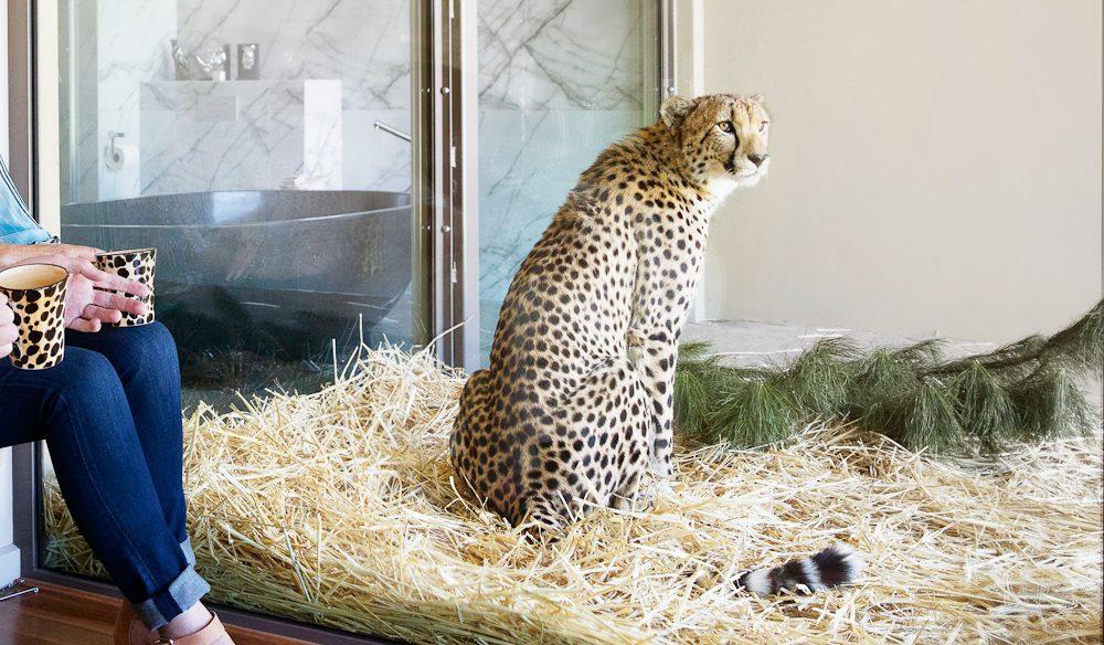 cheetah at Jamala Wildlife Lodge