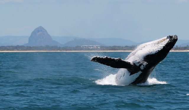 swim with humpbacks Sunshine Coast