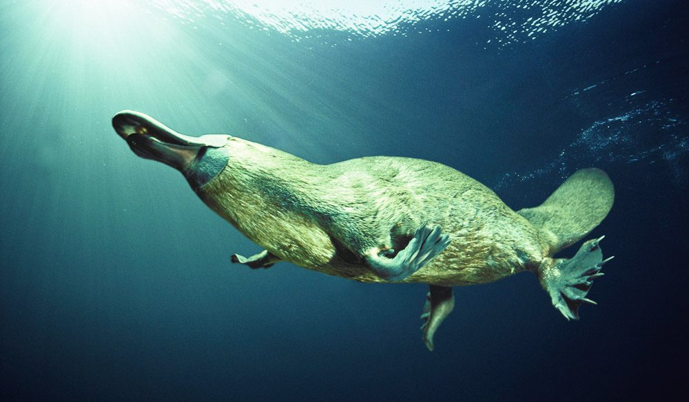 The Platypus. An Australian icon, but extremely difficult to spot in the wild.