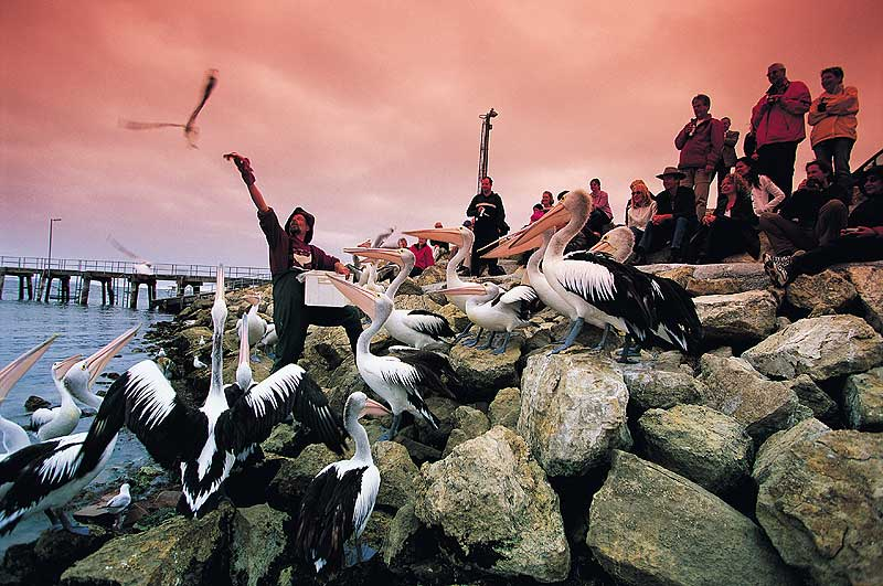 Yes they pelican: Kingscote, Kangaroo Island.