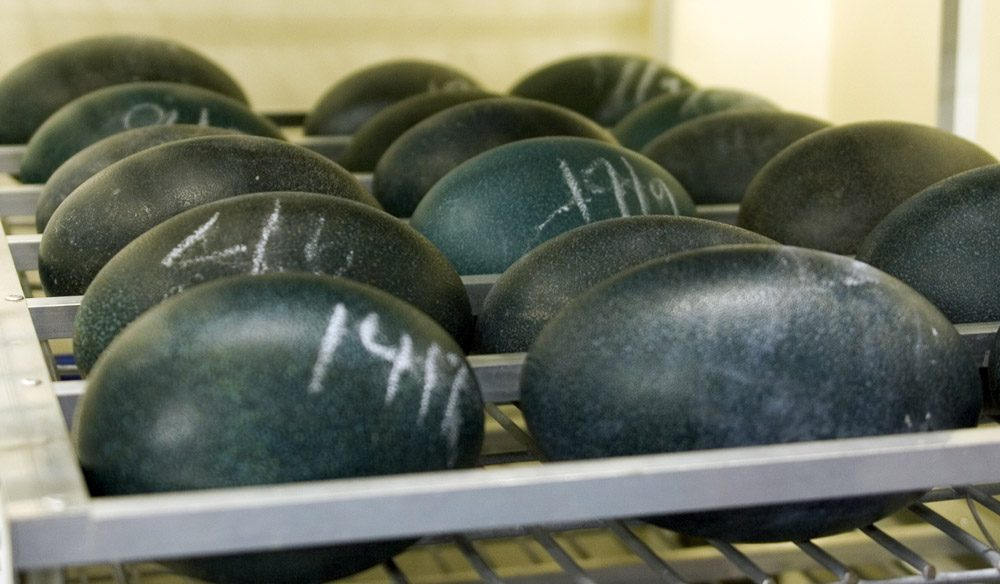 Emu eggs in an incubator from Marayong Emus in Falls Creeks, NSW.