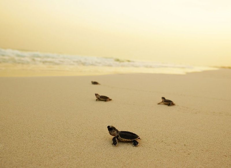 Loggerhead turtle hatchlings make their bid for freedom at Mon Repos.