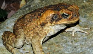 100 Things You Have Never Heard Of #83 Cane Toad Racing (1 of 2)