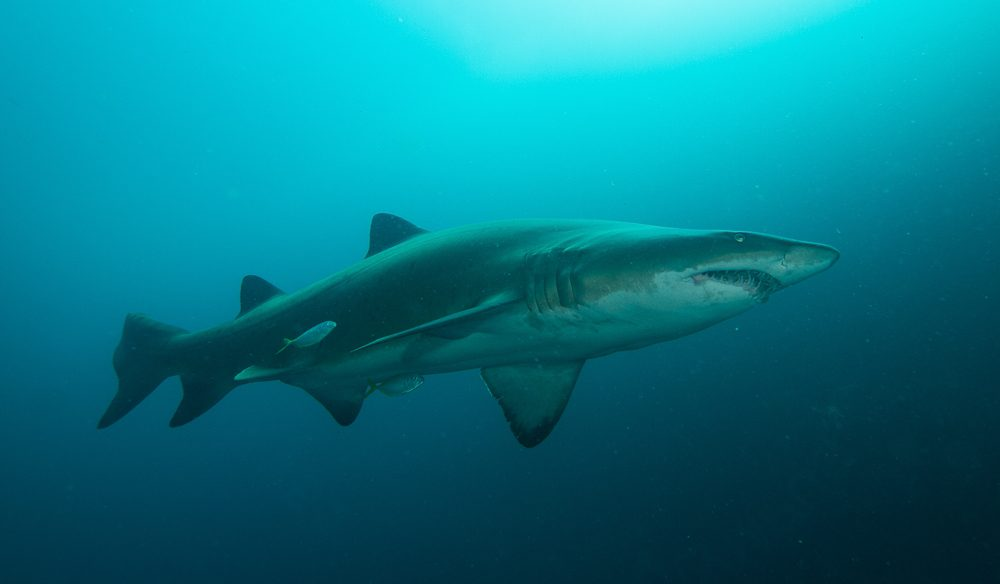 One of the most docile (and endangered) species of shark in the world: The Grey Nurse.