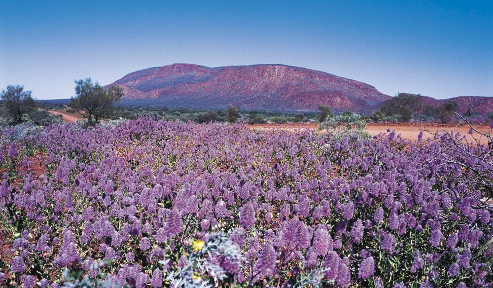 Mt Augustus in full bloom. Pretty special stuff.