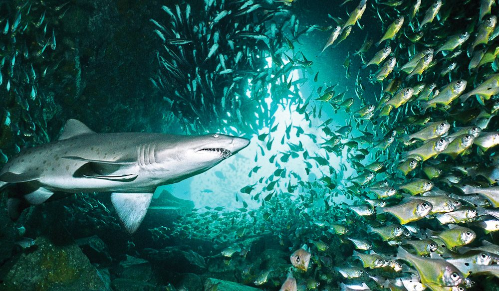 Diving with Grey Nurse Sharks in Fish Rock Cave in South West Rocks