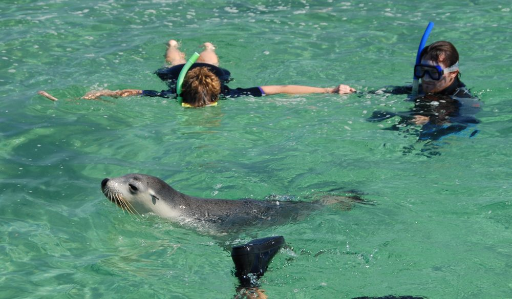 Swimming with sea lions at Baird Bay, SA