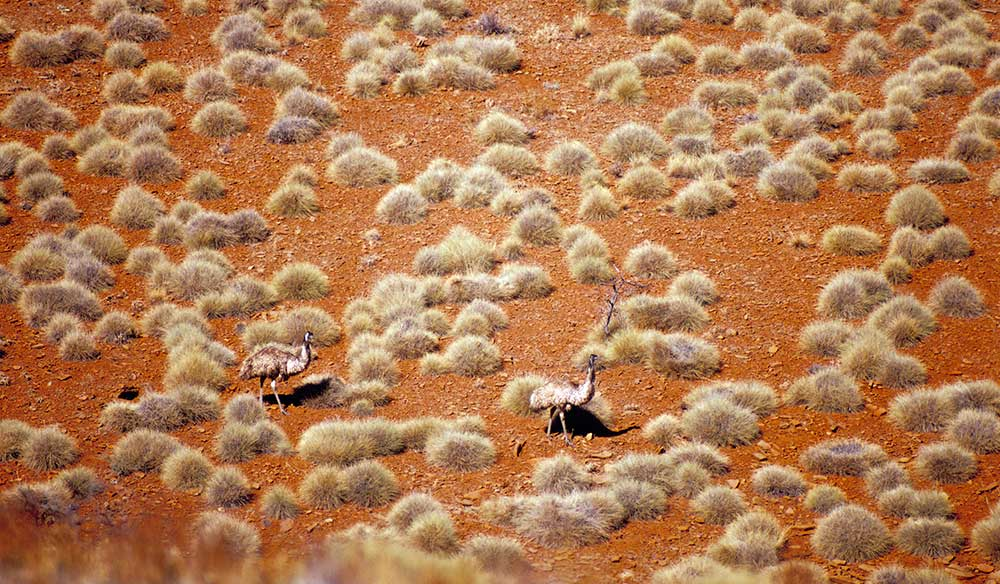 Emus on the run. Image by Ken Martin.
