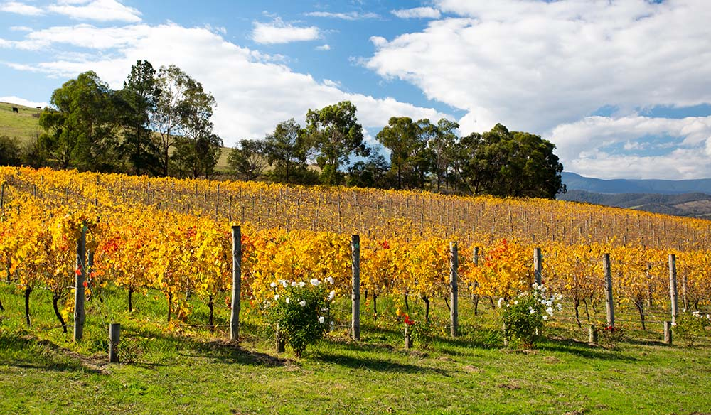 Lush golden vines in autumn at a winery in the Yarra Valley, Victoria, Australia