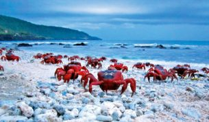 Critter war: The red crabs of Christmas Islands prepare to face a great threat.