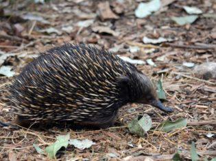 Feel-good holiday: Helping out echidnas on Kangaroo Island.