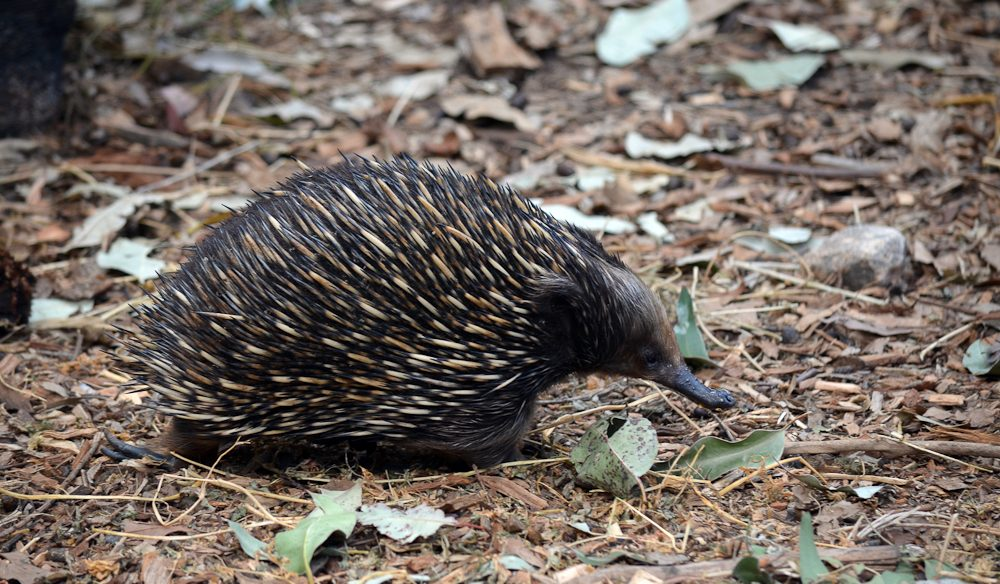 Feel-good holiday: Helping out echidnas on Kangaroo Island.