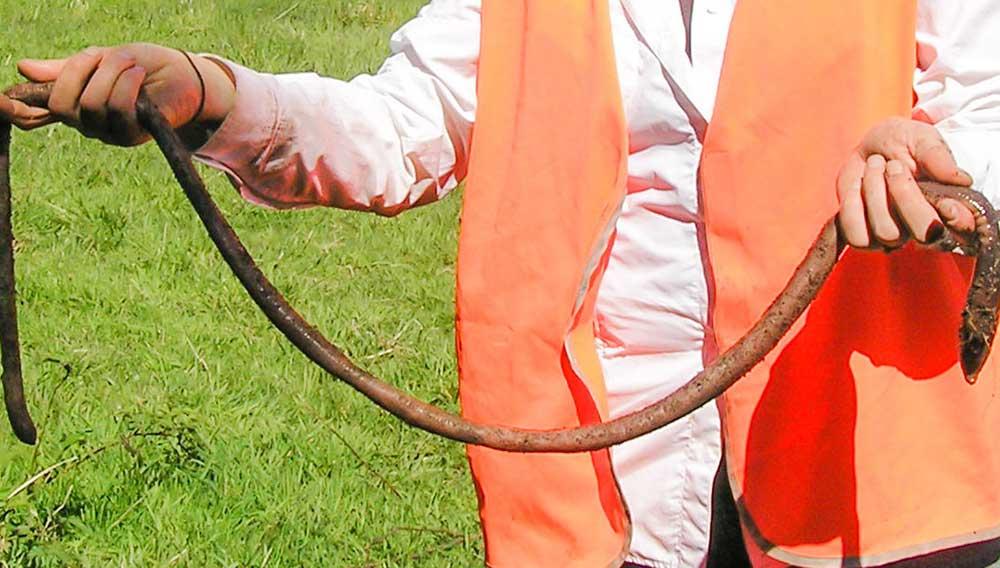 The giant earthworms of Gippsland