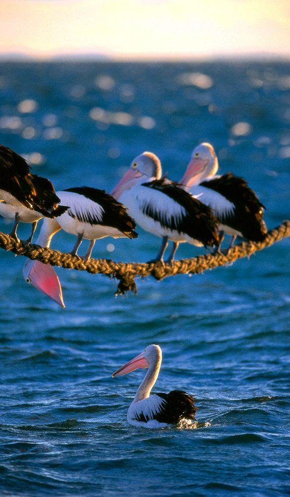 Australian Pelicans, Stradbroke Island, Queensland (Steve Parish)