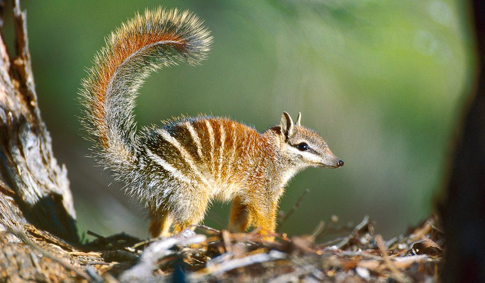 Numbat, Earth Sanctuaries, South Australia (Steve Parish)
