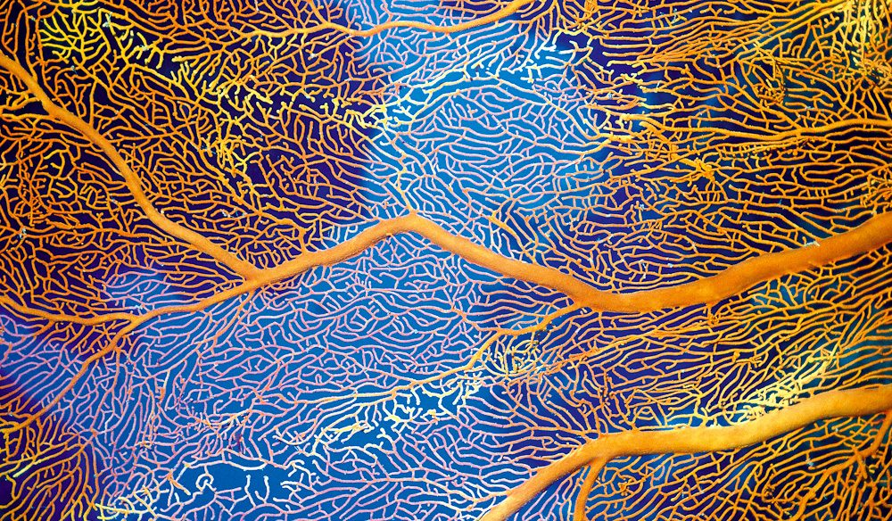 Gorgonian Sea Fan, Great Barrier Reef (Steve Parish)