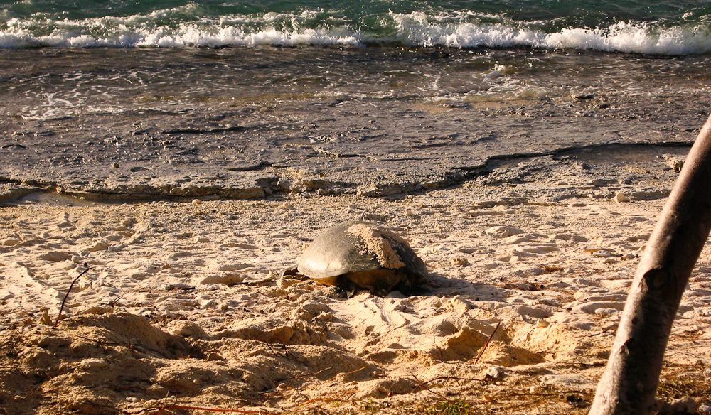 A nesting turtle returns to the sea, Lady Elliot Island, Queenland