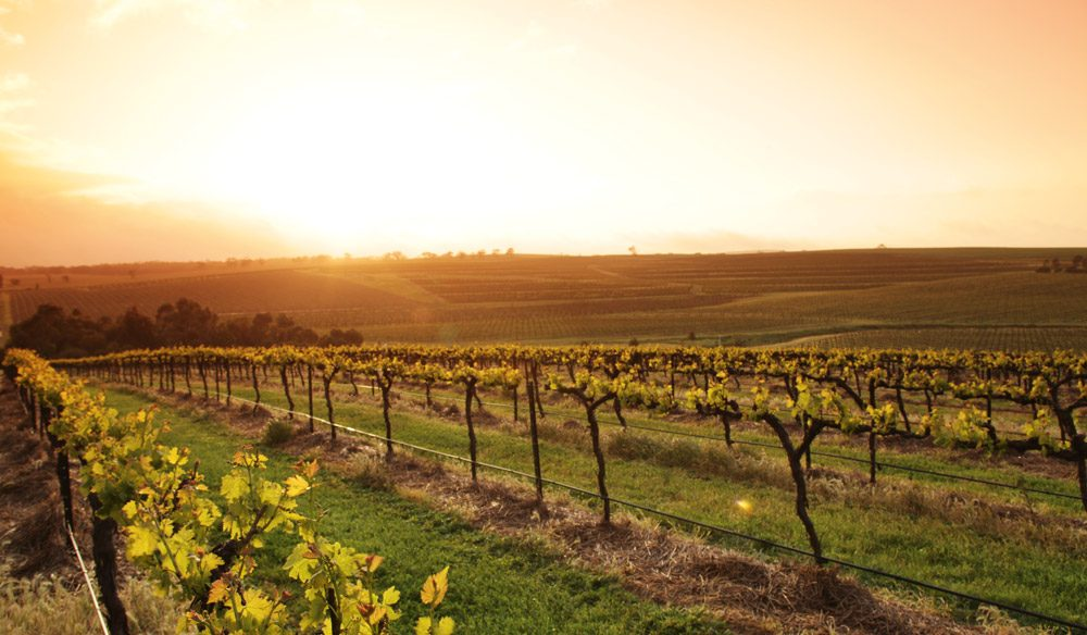 Sunrise over Taylors vineyard in the Clare Valley