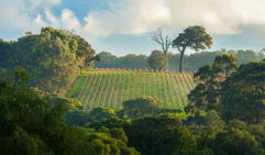 Margaret River bright early morning light on winter vineyard surrounded by dense gumtree or eucalypt forest under cloudy sky