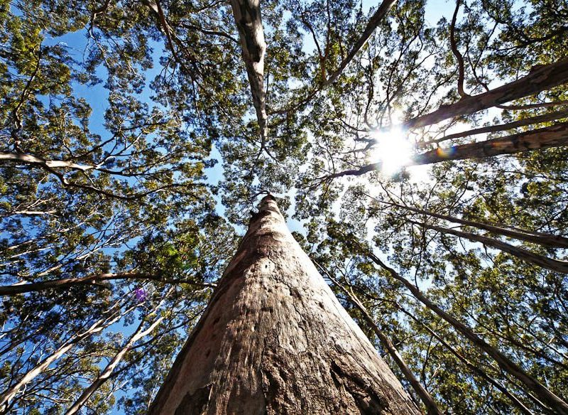 Boranup Forest, WA