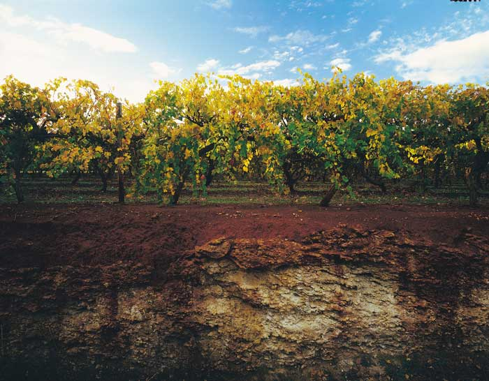 The celebrated and revered terra rossa of the Coonawarra sits on top of a limestone ridge
