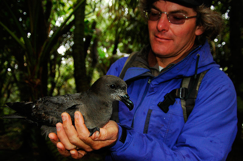 The providence Petrel on Mt Gower