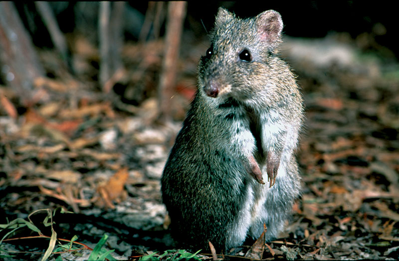 Gilbert's Potoroo, Two Peoples Bay, WA. Image from www.potoroo.org