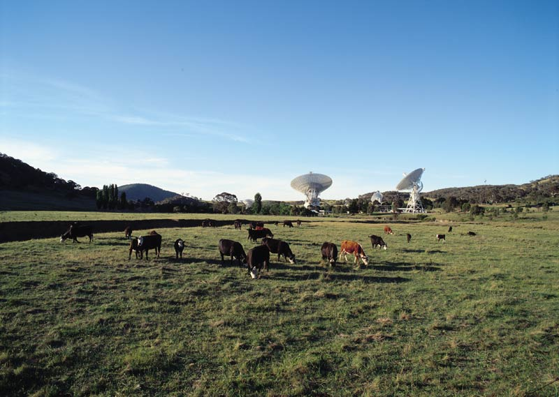 Cattle amongst the telescopes. Image by the Canberra Deep Space Communications Complex