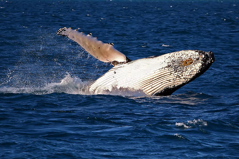 48 hours in Hervey Bay -- Breaching Humpback, image by Darren Stones.