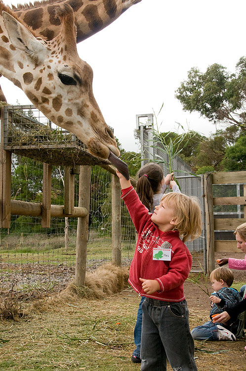 The highlight is definitely the feeding of the zoo's beautiful and friendly giraffe.